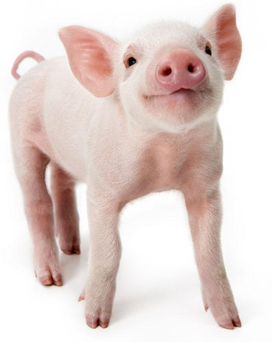 Мини-пиги: породы, содержание в домашних условиях