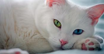 Ванская кошка гибрид